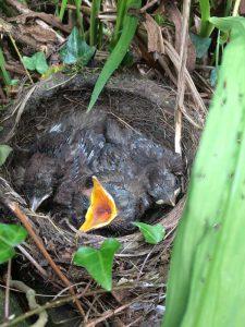 blackbird-chicks