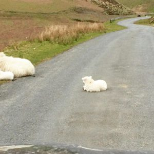 lamb-wales