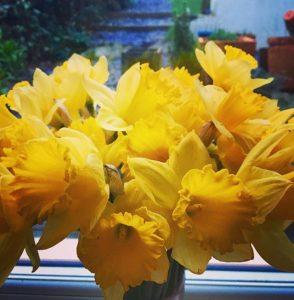 spring-daffodils