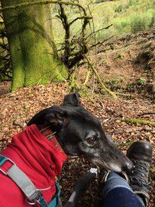 greyhound-walks